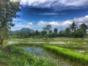 Beautiful rice fields with palm trees and mountains in the backdrop