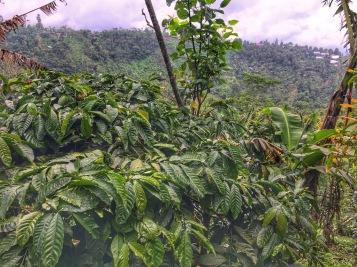 Bali Beans organic coffee plantation