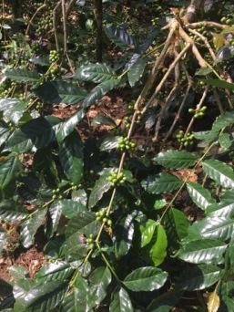 100% organic Arabica bushes