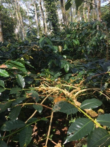 Arabica beans growing beneath the protective canopy